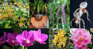 Nambour Orchid Society Spring Show